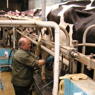 Milking the Cows